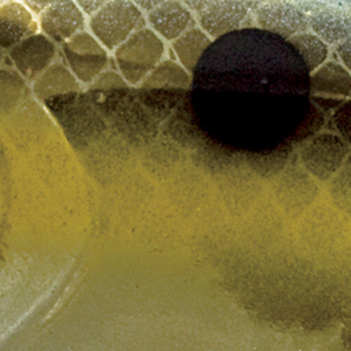 Strike King® Red Eye Shad Tungsten 2-Tap Lipless Crankbait