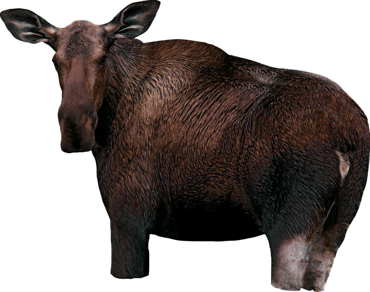 Montana Decoys Moose II Decoy