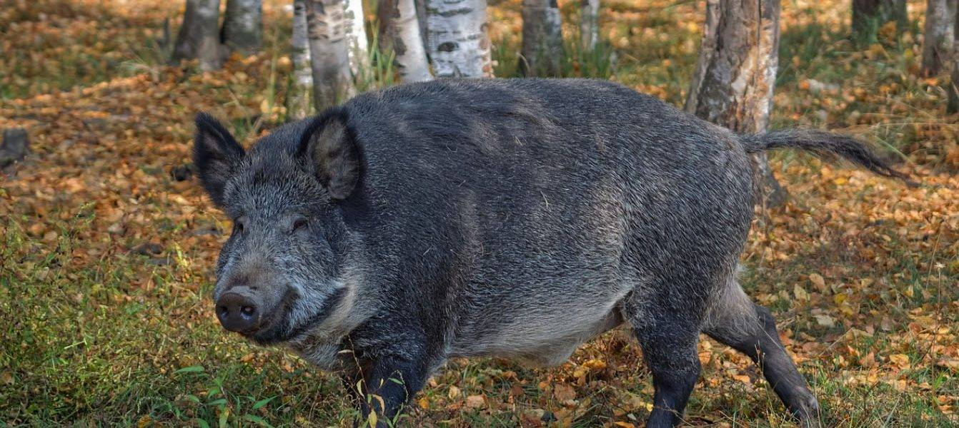 How to Make a Wild Boar Hunting Spot